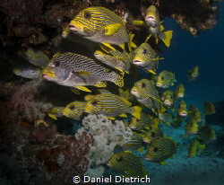 typical schooling Sweetlips in Raja Ampat, taken at the J... by Daniel Dietrich