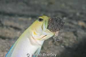 Yellowhead Jawfish aerating the eggs by Helen Brierley