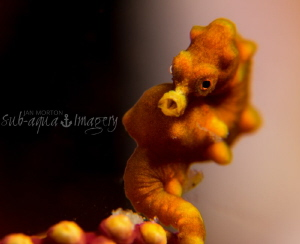 Pygmy Sea Horse.  Approx 8mm in length.   Olympus OMD E-... by Jan Morton