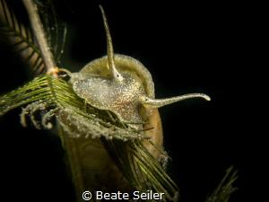 ear pond snail by Beate Seiler