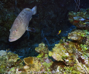 Black Grouper picture taken with Canon G15 Fish Eye Wide ... by Daniel Waldman