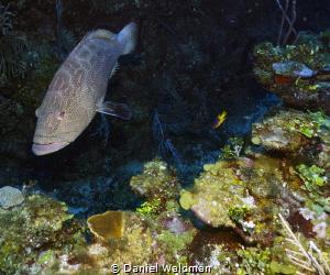 Black Grouper picture taken with Canon G15 Fish Eye Wide ... by Daniel Waldman