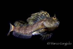 Big Blenny by Marco Gargiulo