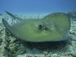 Stealth Bomber Big mama ray off the coast of Palm Beach  by Mark Sagovac