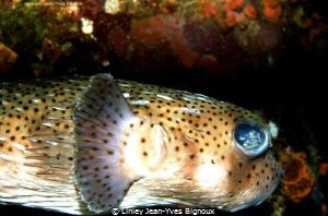 Box Fish Mauritius Linley Jean-Yves Bignoux  by Linley Jean-Yves Bignoux
