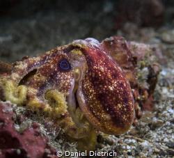 Mototi Octopus in the Lembeh Strait by Daniel Dietrich