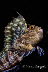 Big Blenny #2 by Marco Gargiulo
