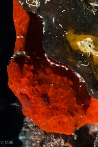 Painted red frogfish in the wreck at the night dive. by Mehmet Salih Bilal