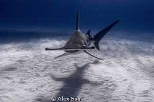 """Shadow Chaser"" - This Great Hammerhead was approaching m... by Alex Suh"