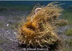 Hairy Froggy, Lembeh Strait by Daniel Dietrich