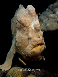 Giant Frogfish off of Siquijor Island.  Uncropped image. ... by Jan Morton