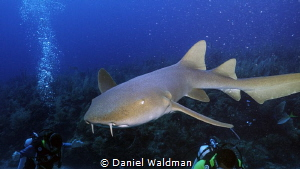 Nurse Shark diving Esmeralda Dive Site. Shot with Canon G... by Daniel Waldman