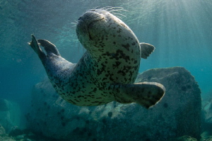 The curious seal were twisting right in front of my camera. by Dmitry Starostenkov