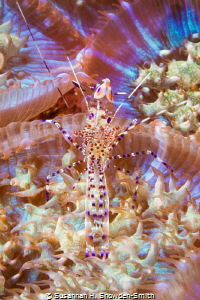 Spotted cleaner shrimp with eggs blends in on a transluce... by Susannah H. Snowden-Smith