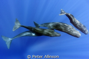pod of sperm whales playing off of Dominica, taken under ... by Peter Allinson