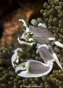 Anemone crab at Koh Haa by Tobias Reitmayr