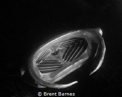 A feeding manta ray at night on the Big Island by Brent Barnes