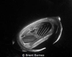 A feeding manta ray at night on the Big Island by Brent Barnes