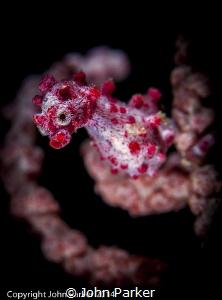 Pygmy Seahorse in Wakatobi by John Parker