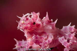 No crop soft coral crab. by James Deverich
