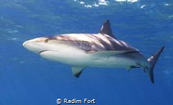 žralok perezův by Radim Fort