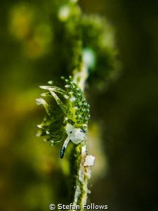 Slider. Nudibranch - Costasiella usagi. Mae Haad, Thailan... by Stefan Follows