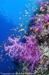 Soft Corals and Anthias at Shark Reef Ras Mohammed by John Parker