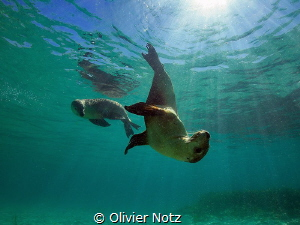 One more pictures of these very playful Australian sea lions by Olivier Notz