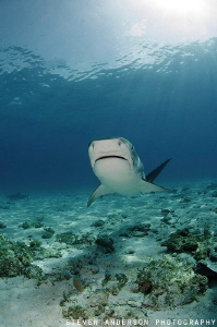 This Tiger shark looking for our attention is big and cer... by Steven Anderson
