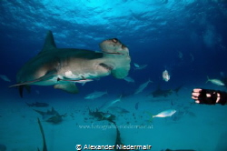 Great Hammerhead in Bimini by Alexander Niedermair