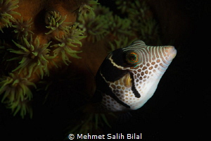 Filefish. by Mehmet Salih Bilal