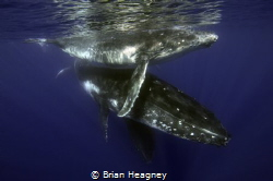 Mother Humpback with her calf and an escort. by Brian Heagney
