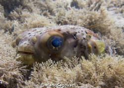 "Little puffer fish? with ""cosmo"" eyes