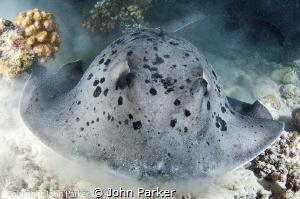 Stingray at Maaya Thila Night Dive by John Parker