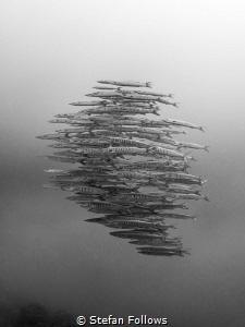 Entourage. Chevron Barracuda - Sphyraena qenie. Sail Rock... by Stefan Follows