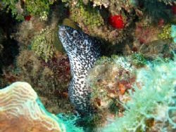 spotted moray ell, Jamaica, c 60' with olympus mju410 and... by Steve Laycock