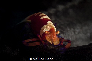 Emperor shrimp on seacucumber by Volker Lonz