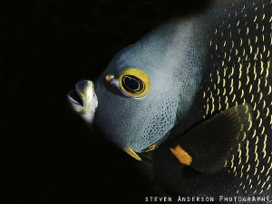 One of the prettiest Angelfish, the French Angelfish that... by Steven Anderson