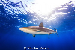 Caribbean reef shark under the surface, shoot in nassau, ... by Nicolas Voisin