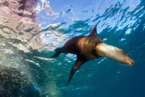 Sea Lion with texture, La Paz Mexico by Alejandro Topete