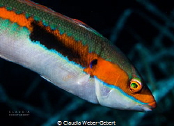 colourful.... Coris Julis France - mediterranean sea by Claudia Weber-Gebert