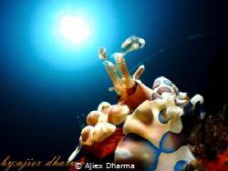 Harlequin shrimp looking to the sun by Ajiex Dharma