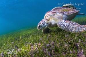 Green Tuttle in the gras, Akumal Mexico by Alejandro Topete
