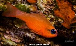 simply red....  Apogon Imberbis France - mediterranean... by Claudia Weber-Gebert