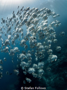 Across the Universe  Longfin Batfish - Platax teira  ... by Stefan Follows