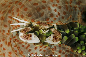 Porcelain crab in the anemone by Raffaele Livornese
