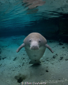 """""""I believe I can fly""""  Florida manatee in House spring by Ellen Cuylaerts"""