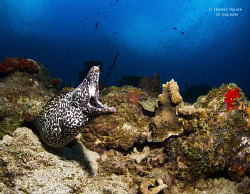 'Moray's Roar' - A Spotted Moray surveys the reef. by Henley Spiers