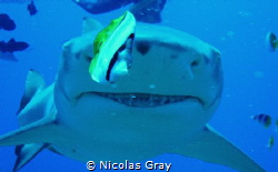 He's only go eyes for the fish! Lemon Shark in Polynesia by Nicolas Gray