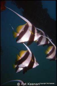 Bannerfish (Heniochus acuminatus)escort divers at the wor... by Pat Keenan